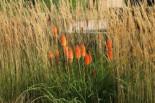 Frühblühende Fackellilie, Kniphofia x praecox, Topfware