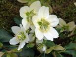Gehölzrand - Frühblühende Garten Christrose 'Praecox', Helleborus niger 'Praecox', Topfware