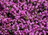 Steingarten - Frühblühender Thymian 'Red Carpet', Thymus praecox 'Red Carpet', Topfware
