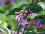 Unter Bäumen - Frühlings-Platterbse, Lathyrus vernus, Topfware