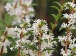Frühlingsduftblüte, 30-40 cm, Osmanthus burkwoodii, Containerware