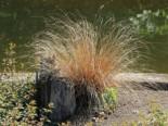 Gräser - Fuchsrote Neuseeland Segge, Carex buchananii, Containerware