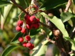 Funkenblatt Photinia davidiana
