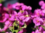 Gänsekresse 'Little Treasure Deep Rose', Arabis caucasica 'Little Treasure Deep Rose', Topfware