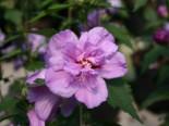 Garteneibisch 'Ardens' Hibiscus syriacus 'Ardens'