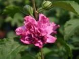 Garteneibisch 'Duc de Brabant' Hibiscus syriacus