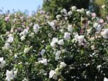 Garteneibisch 'Jeanne d' Arc' Hibiscus syriacus