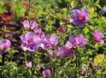 Garteneibisch 'Lavender Chiffon' Hibiscus syriacus