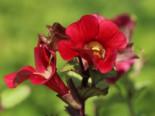 Freiflächen - Gauklerblume 'Roter Kaiser', Mimulus cupreus 'Roter Kaiser', Topfballen