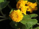 Lebensraum Wasser - Gefülltblühende Sumpfdotterblume 'Multiplex', Caltha palustris 'Multiplex', Topfballen