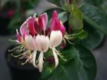 Geißblatt / Geißschlinge 'American Beauty' Lonicera heckrottii