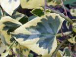 Kletterpflanzen - Gelbbunter Kolchischer Efeu, 60-100 cm, Hedera colchica 'Dentata Aureovariegata', Containerware