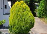 Gelbe Gartenzypresse Stardust