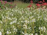 Freiflächen - Gelenkblume 'Crystal Peak White', Physostegia virginiana 'Crystal Peak White', Topfballen