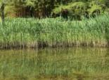 Lebensraum Wasser - Gemeines Schilfrohr, Phragmites australis, Topfballen