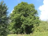 Laubbäume - Gewöhnliche Esche / Gemeine Esche / Hohe Esche, 100-125 cm, Fraxinus excelsior, Containerware