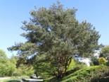 Gewöhnliche Kiefer / Wald-Kiefer / Föhre, 40-60 cm, Pinus sylvestris, Containerware