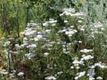 Freiflächen - Gewöhnliche Schafgarbe, Achillea millefolium, Topfballen