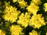 Freiflächen - Gold-Wolfsmilch, Euphorbia polychroma, Topfballen