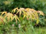 Laubbäume - Goldgelber Fächer-Ahorn, 60-80 cm, Acer palmatum 'Aureum', Containerware