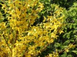 Goldglöckchen / Forsythie 'Week End' ®, 30-50 cm, Forsythia x intermedia 'Week End', Topfware