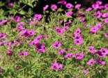 Alpine Stauden - Grauer Storchschnabel 'Purpureum', Geranium cinereum subsp. subcaulescens 'Purpureum', Topfballen