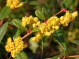 immergrüne Laubbäume - Großblättrige Berberitze, 20-30 cm, Berberis julianae, Containerware