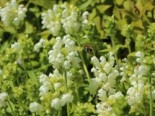 Großblütige Braunelle 'Alba', Prunella grandiflora 'Alba', Topfware