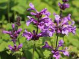 Gehölzrand - Großblütiger Ziest 'Superba', Stachys grandiflora 'Superba', Topfware