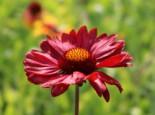 Großblumige Kokardenblume 'Burgunder', Gaillardia x grandiflora 'Burgunder', Topfware