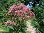 Freiflächen - Großer Garten Wasserdost 'Atropurpureum', Eupatorium fistulosum 'Atropurpureum', Topfballen