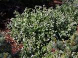 Unter Bäumen - Großgeflecktes Lungenkraut 'Opal', Pulmonaria saccharata 'Opal', Topfware