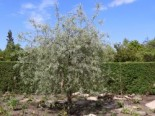 Hängende Wildbirne 'Pendula', 125-150 cm, Pyrus salicifolia 'Pendula', Containerware