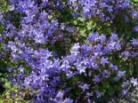 Steingarten - Hängepolster-Glockenblume 'Blauranke', Campanula poscharskyana 'Blauranke', Topfballen