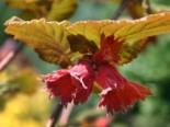 Haselnuss Rotblättrige Zellernuss
