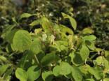 Blütensträucher und Ziergehölze - Heckenkirsche 'Clavey's Dwarf', 40-60 cm, Lonicera xylosteum 'Clavey's Dwarf', Containerware