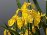Lebensraum Wasser - Heimische Sumpf Schwertlilie, Iris pseudacorus, Topfballen