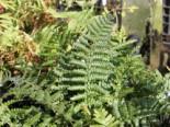 Farne - Heimischer Goldschuppenfarn, Dryopteris affinis, Topfballen