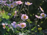 Anemone japonica 'Pink Saucer'