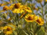 Stauden - Herbst-Sonnenbraut 'Helena Yellow', Helenium autumnale 'Helena Yellow', Topfballen