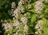 Unter Bäumen - Herzblättrige Schaumblüte, Tiarella cordifolia, Topfballen