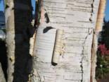 Himalajabirke, 100-150 cm, Betula utilis var. jacquemontii, Containerware