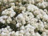 Freiflächen - Himalaya-Perlkörbchen, Anaphalis triplinervis, Topfballen