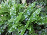 Farne - Hirschzungen Farn, Phyllitis scolopendrium, Topfballen
