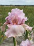 Hohe Bart-Schwertlilie 'Blushing Pink', Iris x barbata-elatior 'Blushing Pink', Topfware