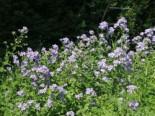 Gehölzrand - Hohe Dolden-Glockenblume, Campanula lactiflora, Topfware