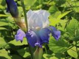 Hohe Schwertlilie 'Alizes', Iris x barbata-elatior 'Alizes', Topfware