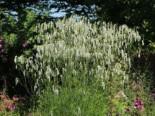 Hoher Wiesenknopf 'Albiflora', Sanguisorba tenuifolia 'Albiflora', Topfware