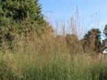 Hohes Pfeifengras 'Windspiel', Molinia arundinacea 'Windspiel', Topfware