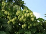 Kletterpflanzen - Hopfen, 60-100 cm, Humulus lupulus, Containerware